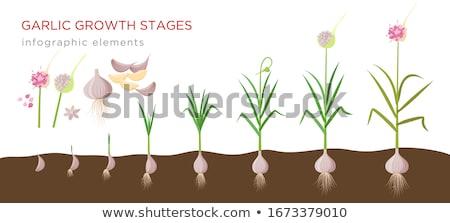 Növekvő fokhagyma tavasz természet háttér levelek Stock fotó © joannawnuk