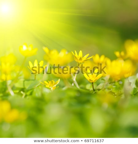 Field of yellow flowers in springtime Stock photo © bluering