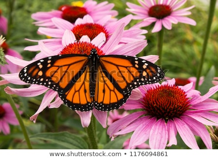 Symmetrical pattern of butterflies monarchs Stock photo © blackmoon979