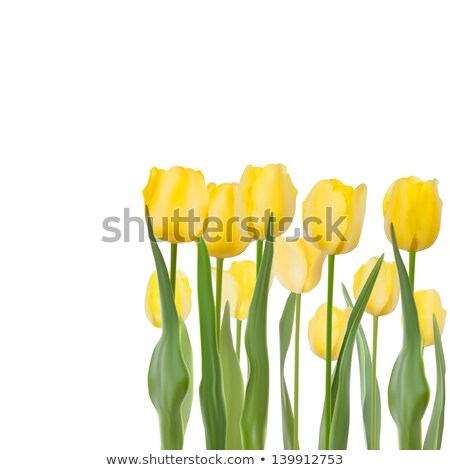 Bouquet of beautiful yellow tulips. EPS 8 Stock photo © beholdereye
