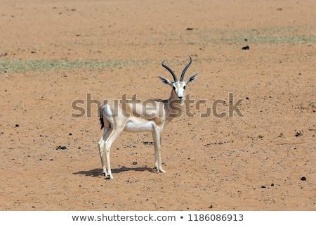 Cute gazelle on white background Stock photo © bluering