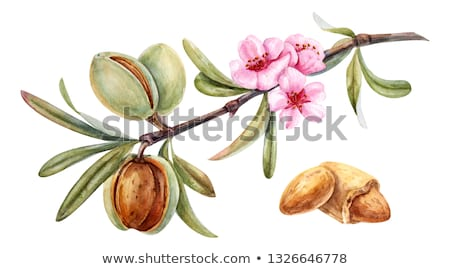 watercolor illustration of almond nut stock photo © sonya_illustrations