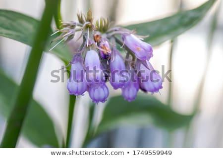 çiçek kullanılmış organik tıp bahar tıbbi Stok fotoğraf © Virgin