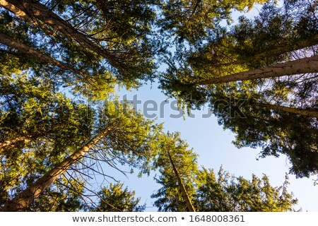Low angle view of treetops in forest in summer Stock photo © stevanovicigor