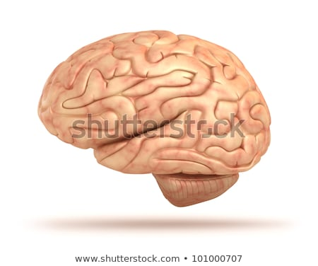 Human Brain isolated. Brain lateral view anatomy. Stock photo © Terriana