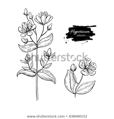 Detalle flor plantas hierba antidepresivo Foto stock © adamr