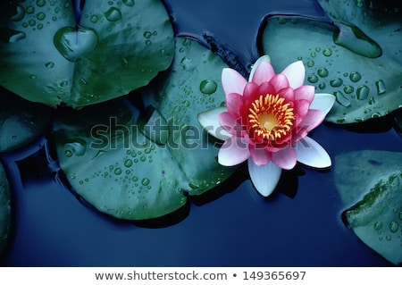 красный Лилия капли воды природы красоту Сток-фото © Alexan66