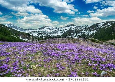 violeta · açafrão · primavera · flores · jardim - foto stock © kotenko