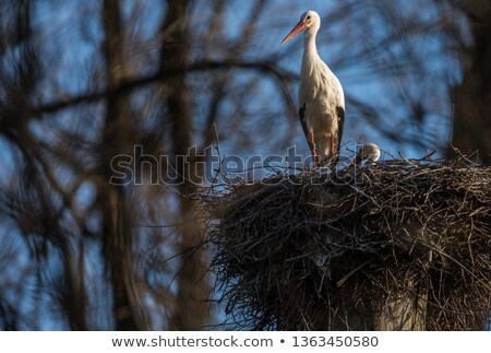 Zarif beyaz leylek sezon meşgul Stok fotoğraf © lightpoet