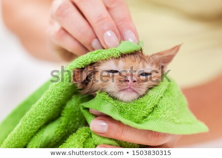 Woman hands gently rub a kitten with towel after bath Stock photo © ilona75