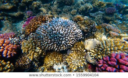 коралловый риф тропические рыбы солнечный свет рыбы синий красный Сток-фото © galitskaya