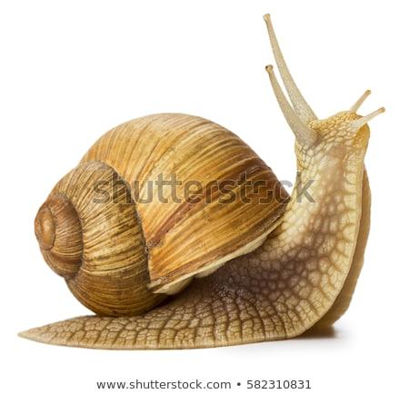 Escargot lent déplacement shell Retour blanche Photo stock © gemphoto