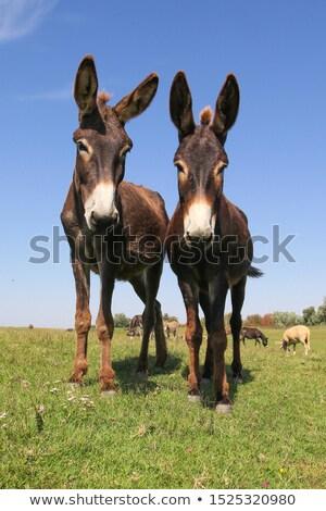Portrait of a donkey Stock photo © Elenarts