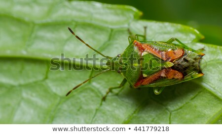 Stock photo: Juniper Shield Bug