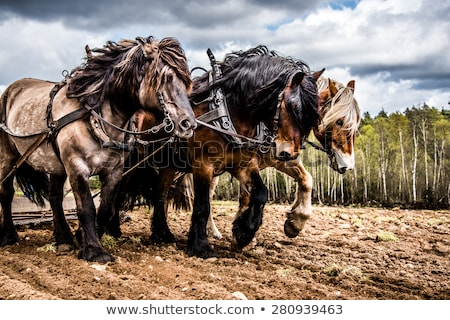 draft horses Stock photo © prill
