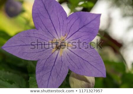 紫色 デイジーチェーン 花 地上 カタツムリ フル ストックフォト © AlessandroZocc