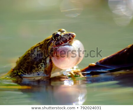croaking green frog in a pond stock photo © alessandrozocc