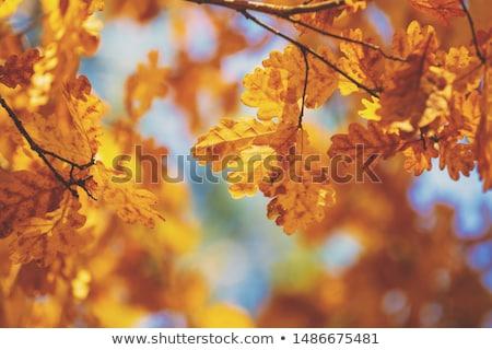 Colorful autumn oak leaf stock photo © gophoto