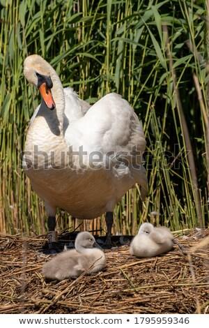 Moeder gans kijken baby kuikens water Stockfoto © tab62