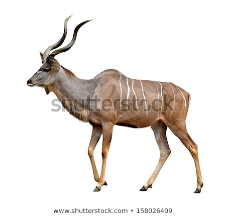 kudu greater beauty from the wilds of africa stock photo © livingwild