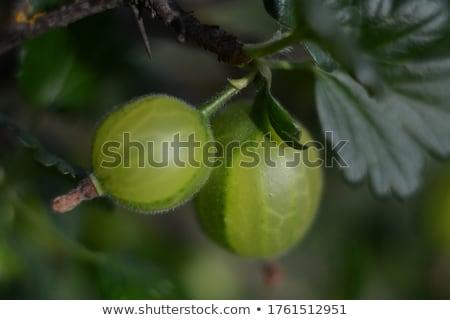 çalı · can · kullanılmış · yaprak · meyve · bahçe - stok fotoğraf © roka