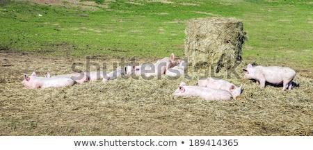 свиней bio фермы ребенка трава Сток-фото © meinzahn