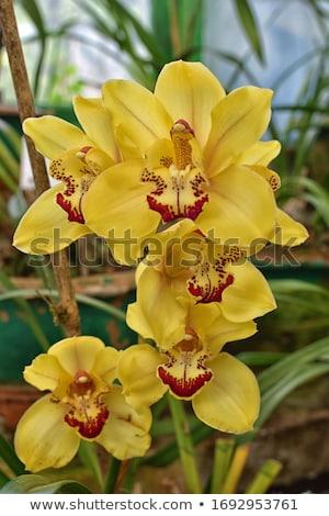 yellow cymbidium orchid flower stock photo © stocker