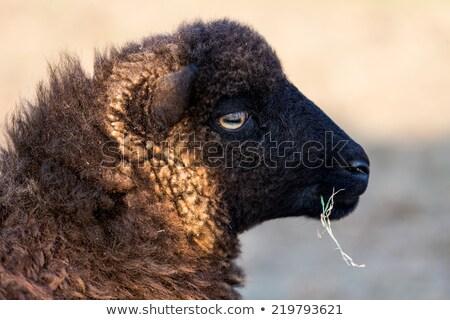 Mały owiec gatunek profil wyspa jedzenie Zdjęcia stock © smithore