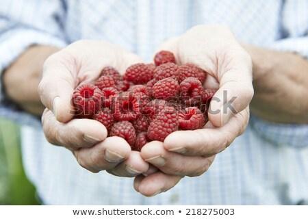 Senior Man On Allotment Holding Freshly Picked Raspberries Stock photo © HighwayStarz