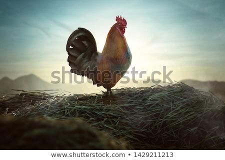 Proud cock Stock photo © Lio22