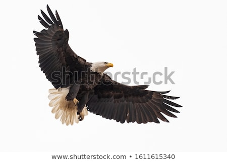 bald eagle haliaeetus leucocephalus stock photo © tilo