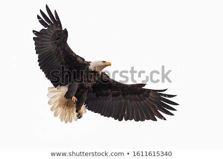 Bald eagle (Haliaeetus leucocephalus) Stock photo © tilo
