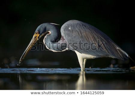 Tricolored Heron Stock photo © saddako2