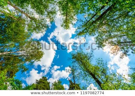 Napsütés fenyőfa ág erdő természet háttér Stock fotó © viperfzk