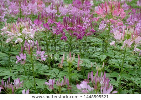 voorjaar · krokus · bloemen · weide · bloem - stockfoto © papa1266