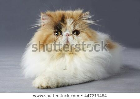 триколор персидская кошка белый женщины студию ПЭТ Сток-фото © cynoclub