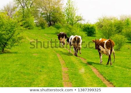 Brown Cow walking on the green meadow  Stock photo © meinzahn