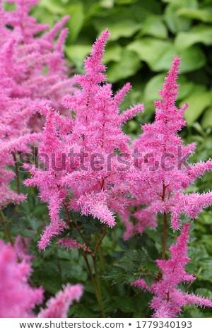 Goats-beard Flower Bud Stock photo © suerob
