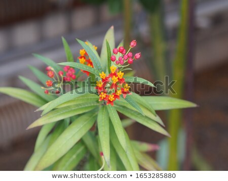 Asclepias Curassavica flower Stock photo © Yongkiet