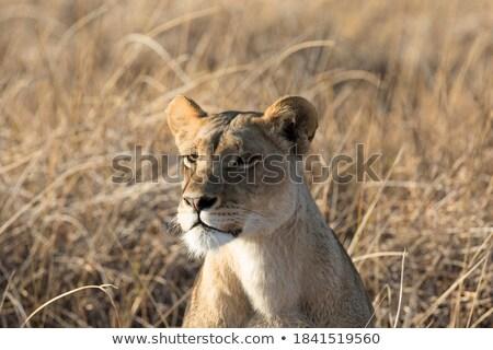közelkép · női · oroszlán · park · Botswana · természet - stock fotó © simoneeman