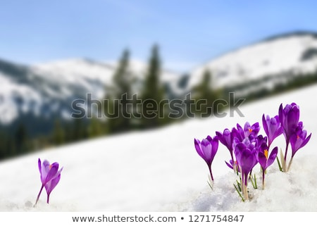 spring landscape with snowbound mountains and spruce forest stock photo © kotenko