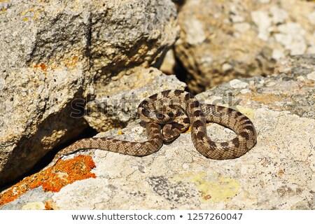 кошки · змеи · несовершеннолетний · рептилия · природного - Сток-фото © taviphoto