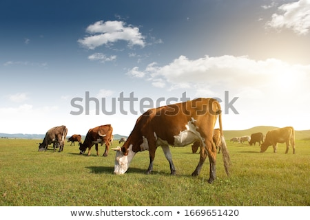 Brown Cow In Field Stock photo © THP