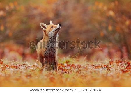 Fox natura panorama illustrazione albero design Foto d'archivio © colematt