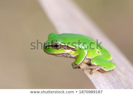 Groene boom kikker Hongarije europese boomkikker klein Stockfoto © artush