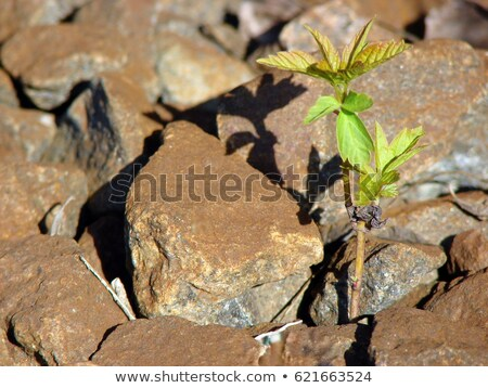 Symbol: plant breaks even hard stones and comes to success Stock photo © galitskaya