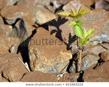 romeno · símbolo · primavera · árvore · vermelho - foto stock © galitskaya