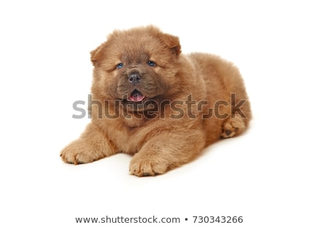 Cute fluffy Welpe Hund stehen Fuß Stock foto © CatchyImages