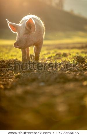 Porcos alimentação prado orgânico carne fazenda Foto stock © lightpoet