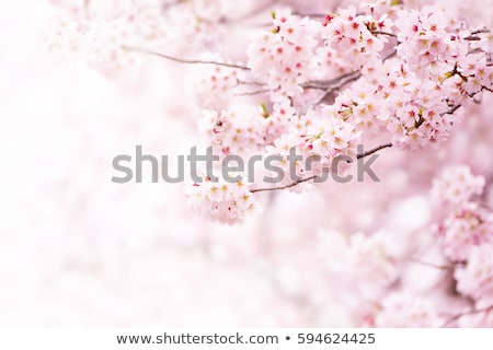 Stock photo: Branches with white cherry blossoms in orchard in spring